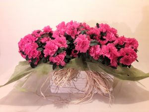 centro de azaleas, azaleas el jardín de la abuela, comprar azaleas floristería madrid